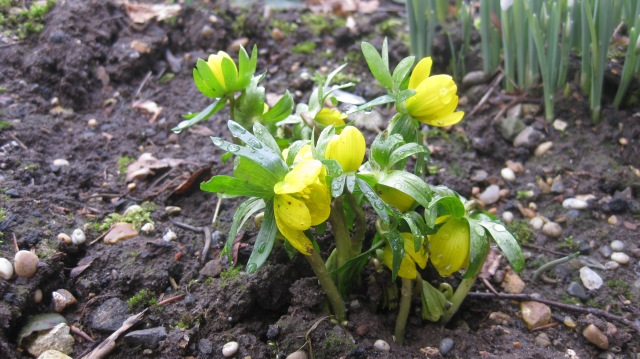 Aconites - The first sign of life!