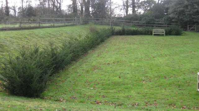 Yew hedge in waiting