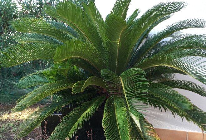 Cycad explodes on terrace